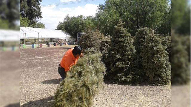 Anuncian programa de acopio de árboles navideños