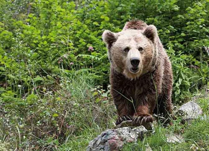 Hallan en saliva del oso pardo propiedades curativas.