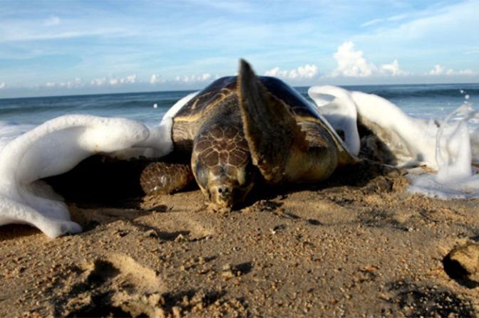Inicia arribo de tortugas a playas michoacanas: Compesca.