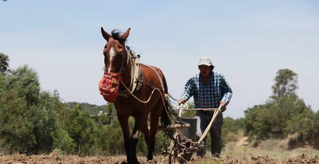 Afecta sequía 66 mil has de cultivos: SEDRUA